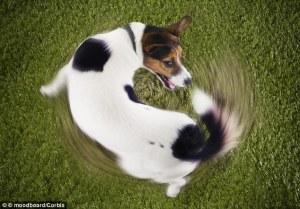 dog chasig tail